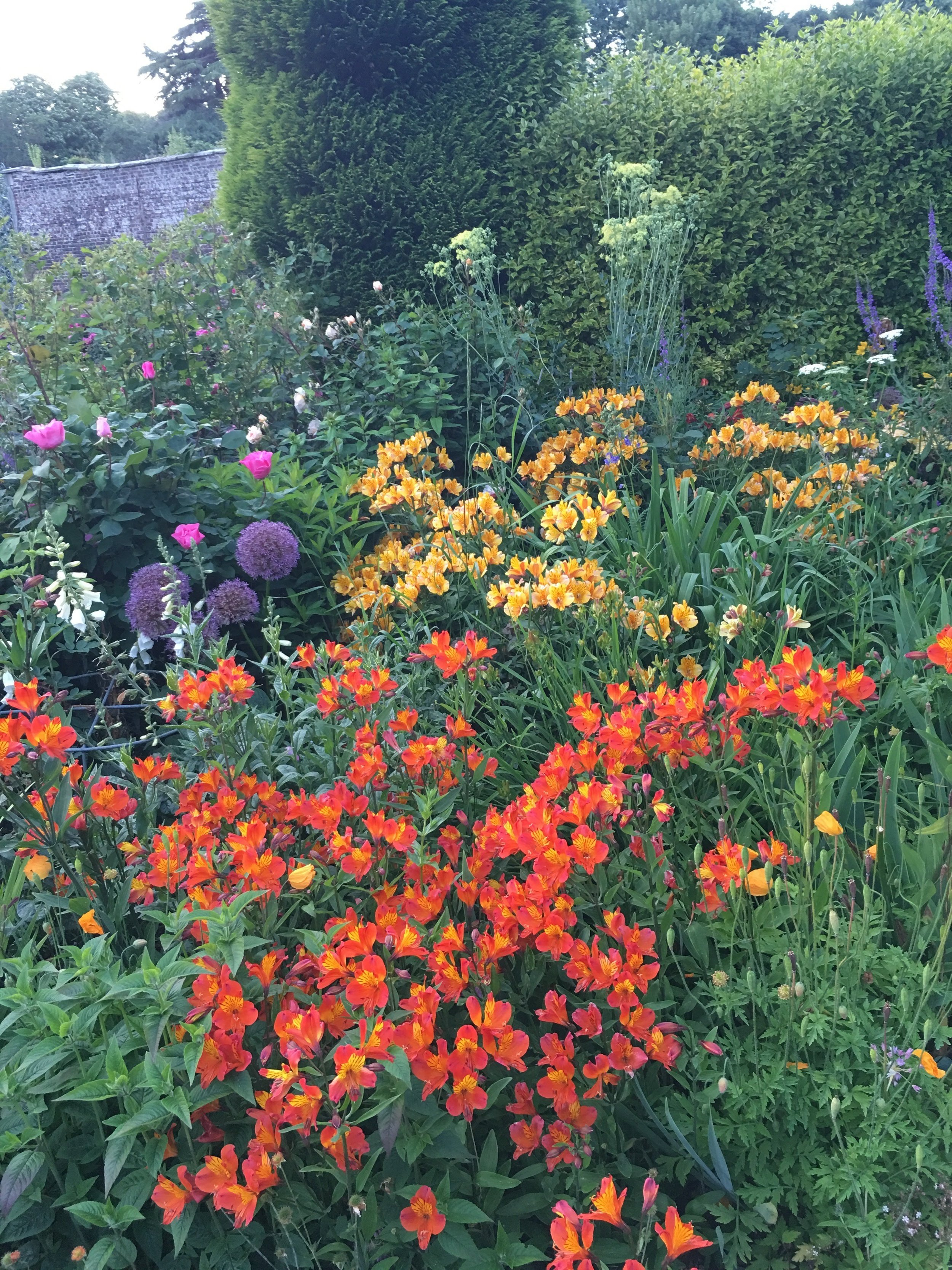 Herbaceous border with Alstromeria