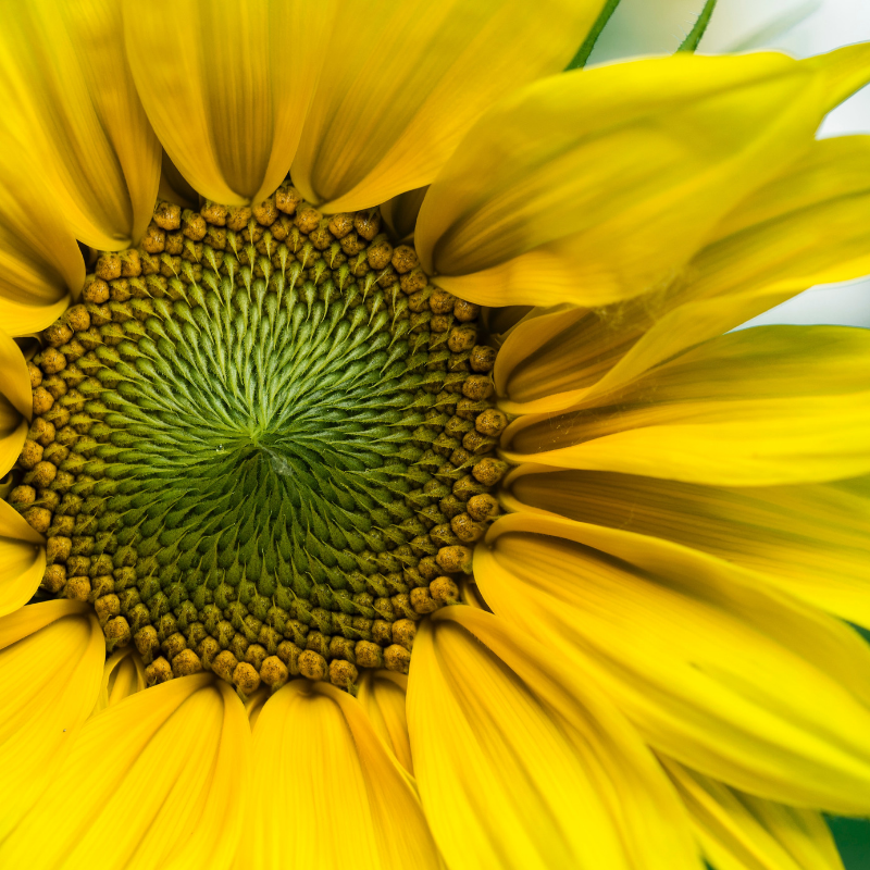 Every kind of flower, shrub, tree and creature, including us and the parts of us, and the planet upon which we live, contain within each mystery, a geometry of forms and forces.  Picture Credit: Aaron Burden at Unsplash