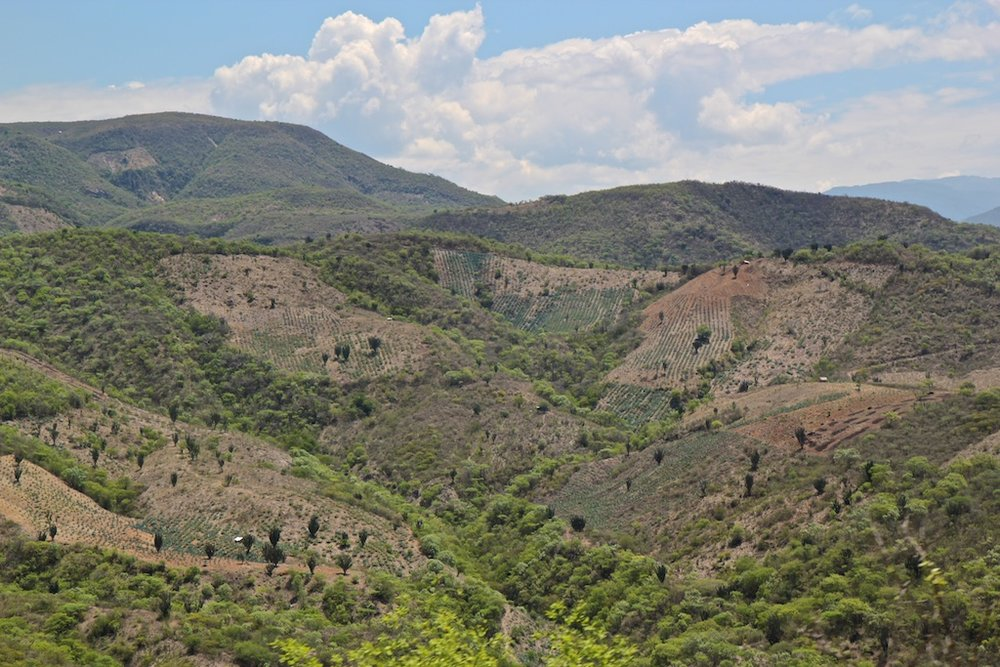 Espadin agave fields on the hillsides in Oaxaca look almost like Mediterranean vineyards