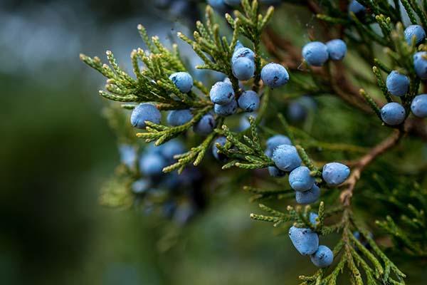Juniper berries in the wild