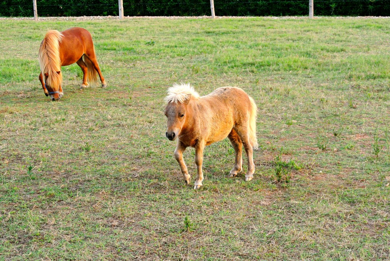 Val de Cavall Miniature Horses.jpg
