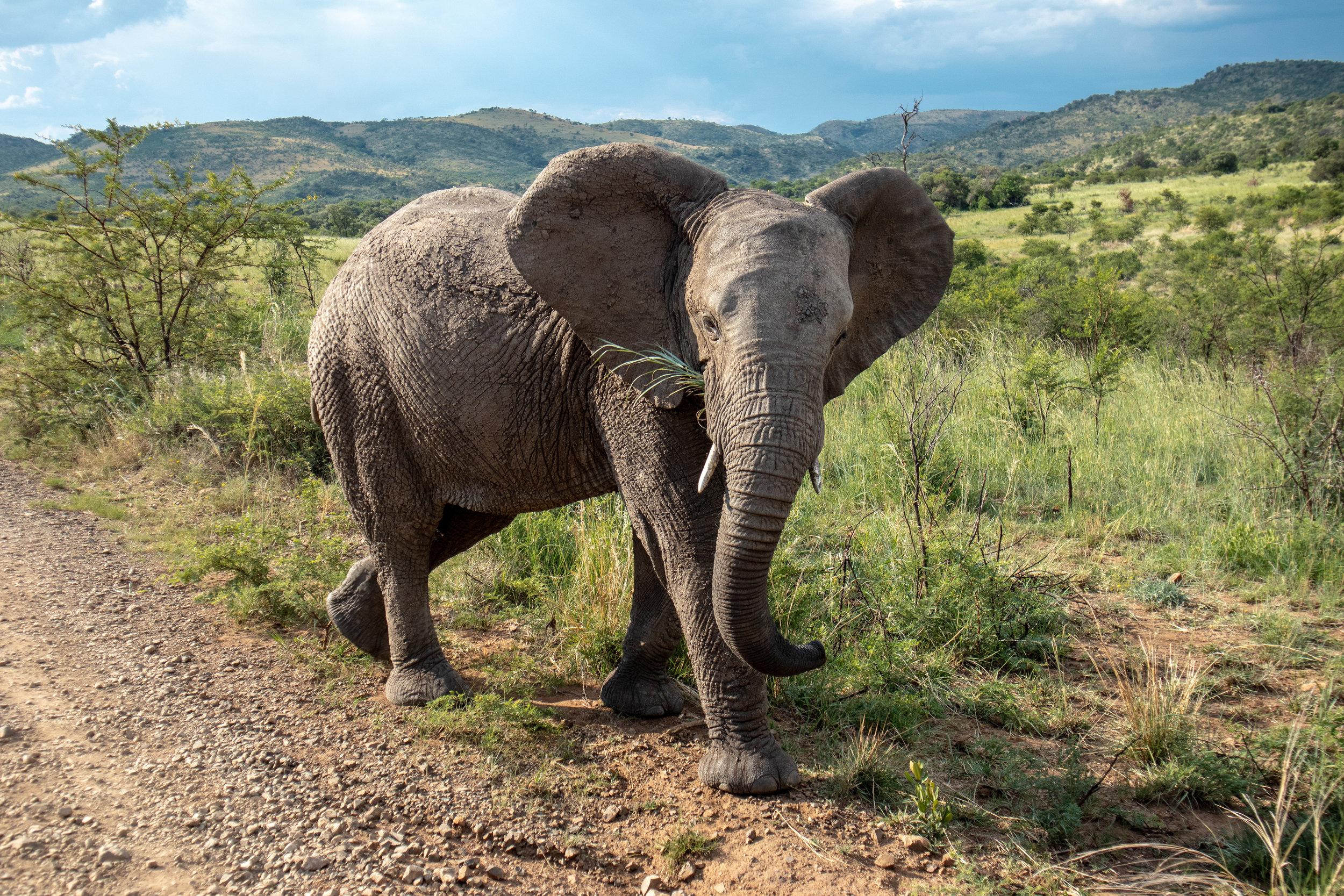 Lady Leopard Elephant Pilanesberg Game Reserve.jpg