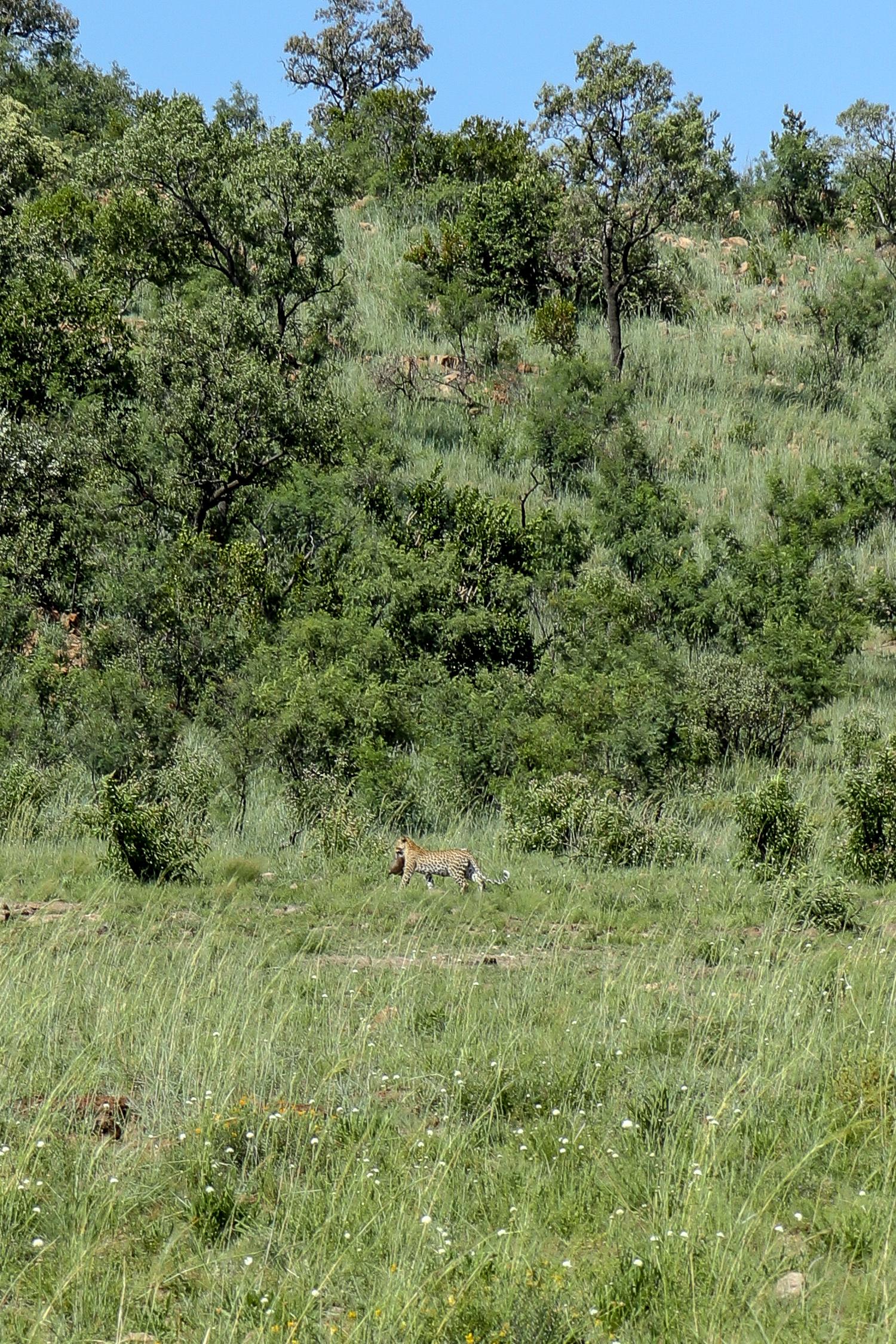 Lady Leopard Leopard Pilanesberg.jpg