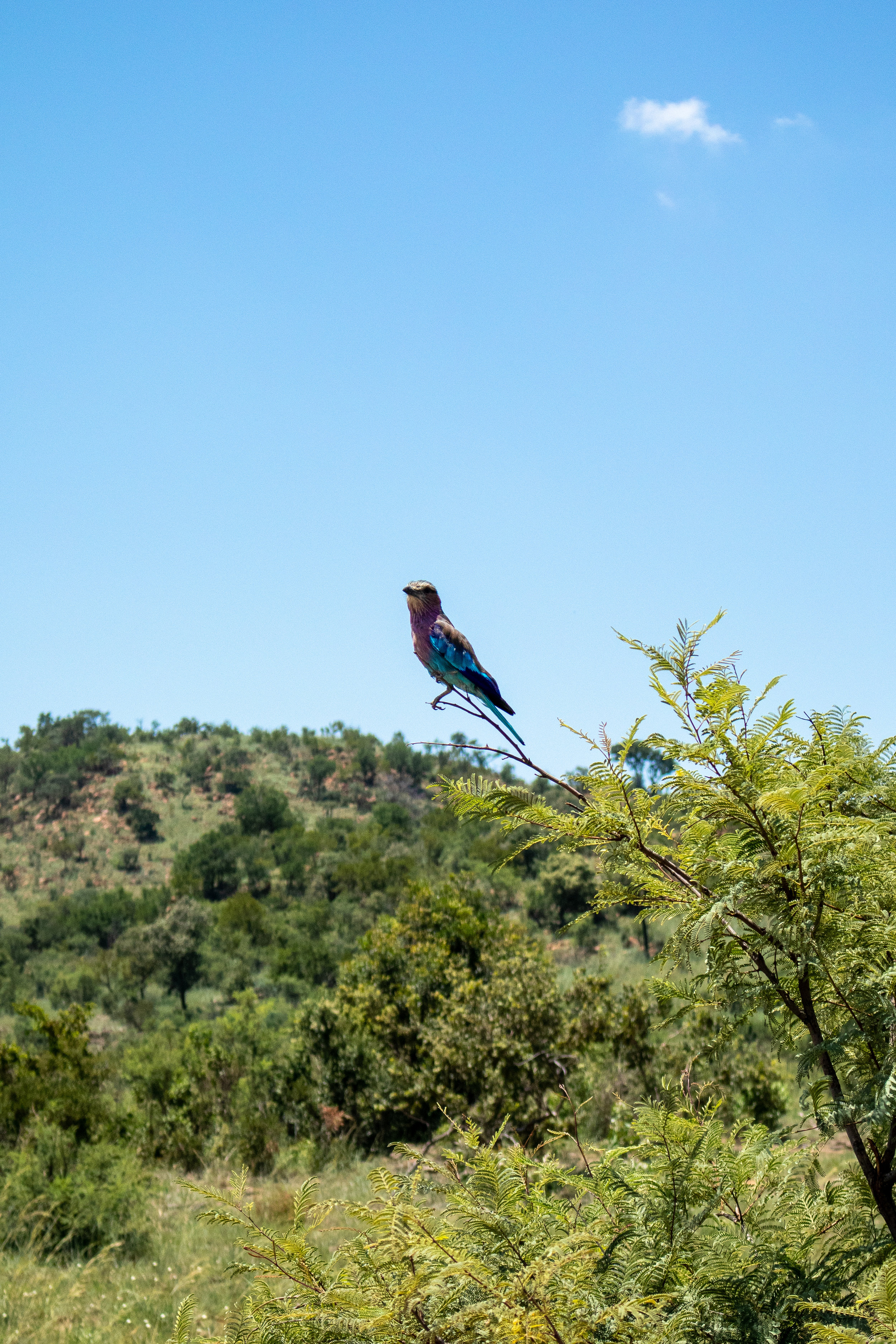 Lady Leopard Exotic bird South Africa.jpg