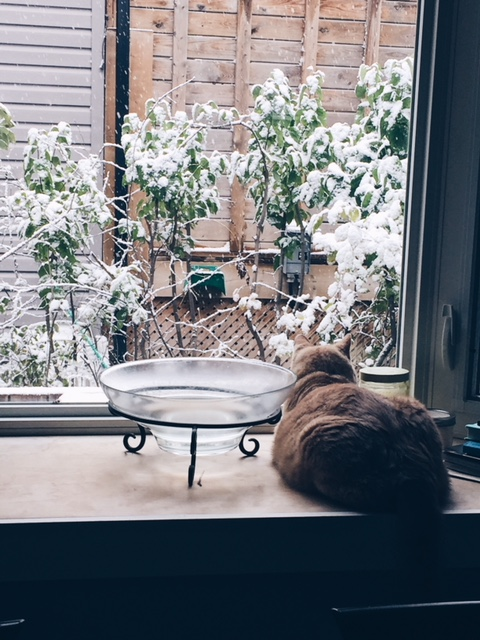 Cat ponders snow on leaves but mostly wonders how soon he can convince his owner to give him more food.JPG