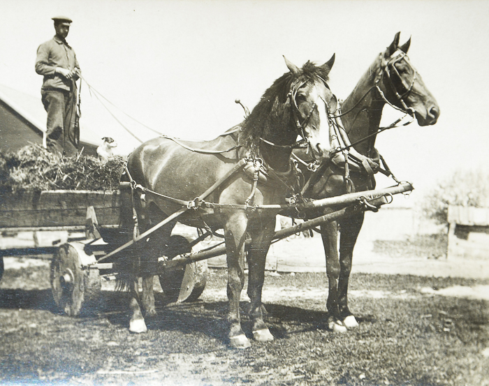 Bill Austin with his team of horses