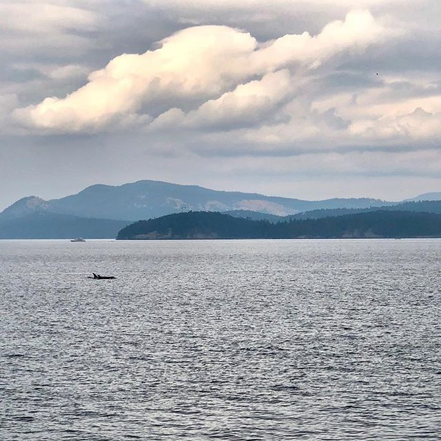 Transient Orca cruising by yesterday #salishsea