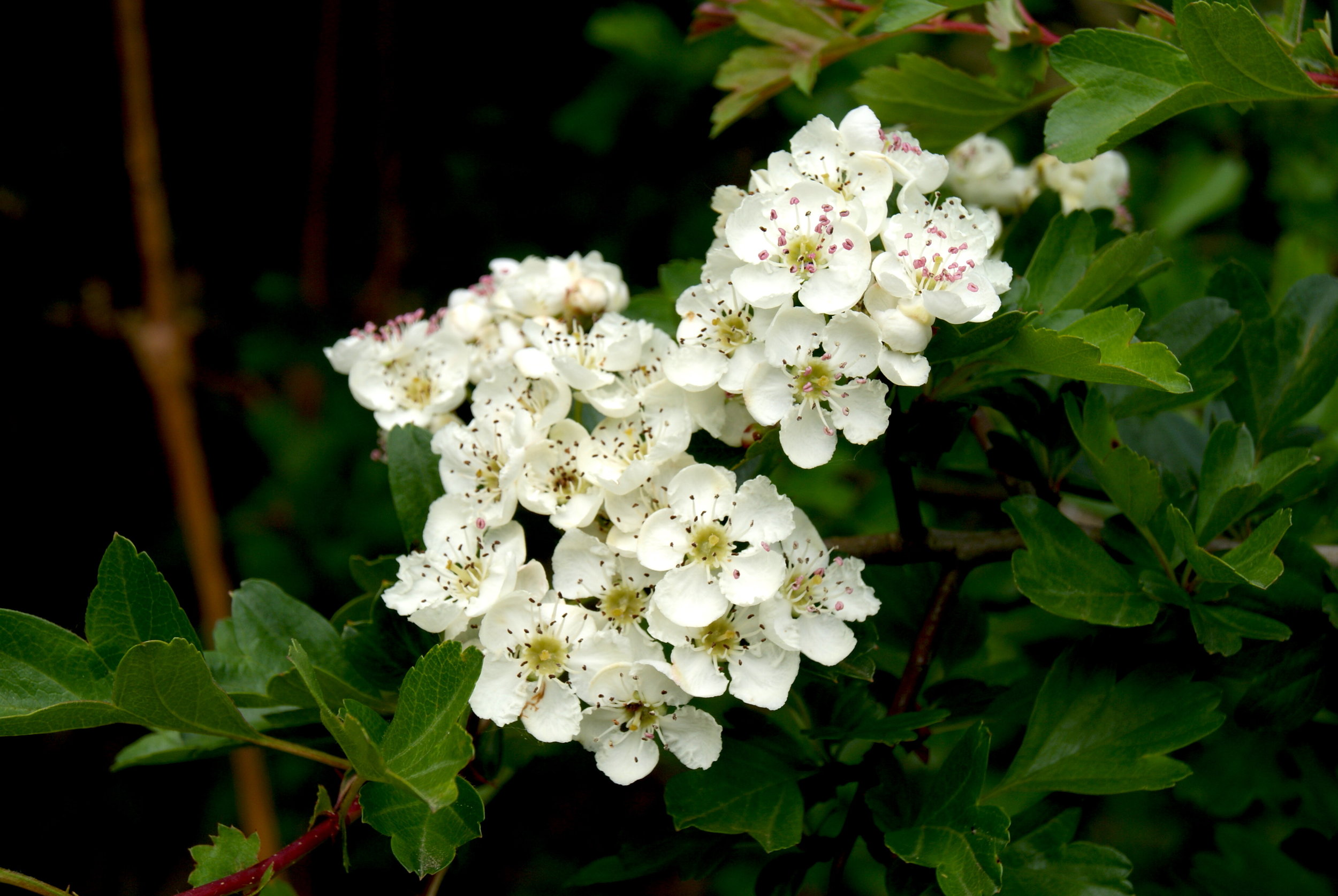 Hawthorn 'mayflowers' in bloom