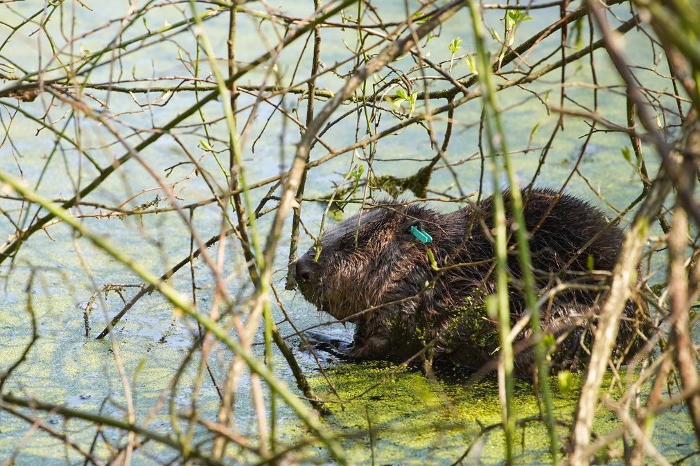 One of the reintroduced beavers © Forestry England