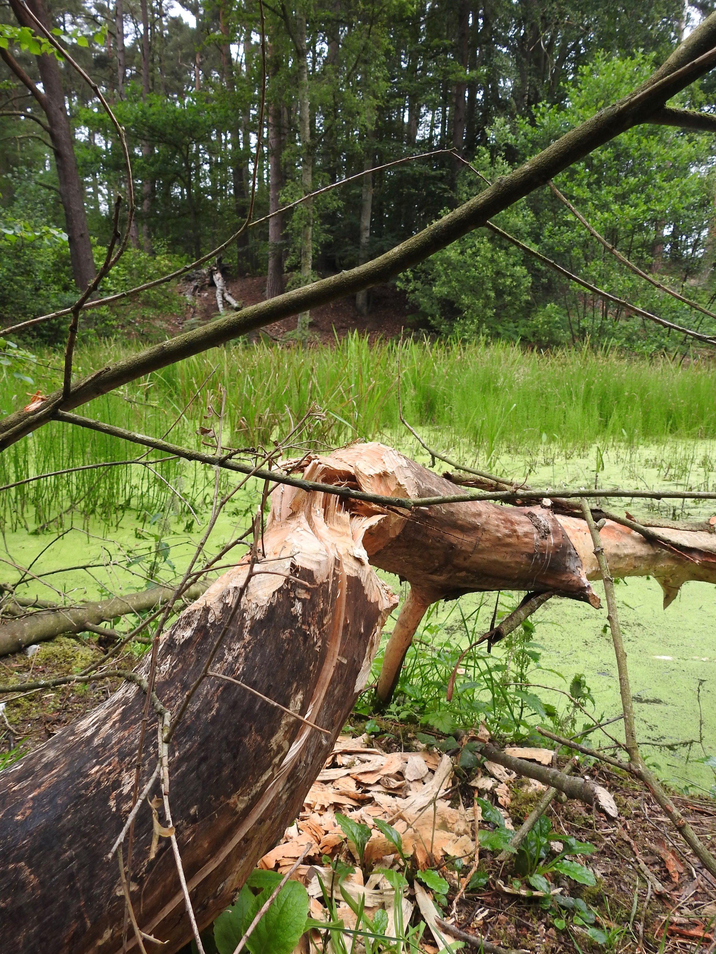 Chewed tree stumps