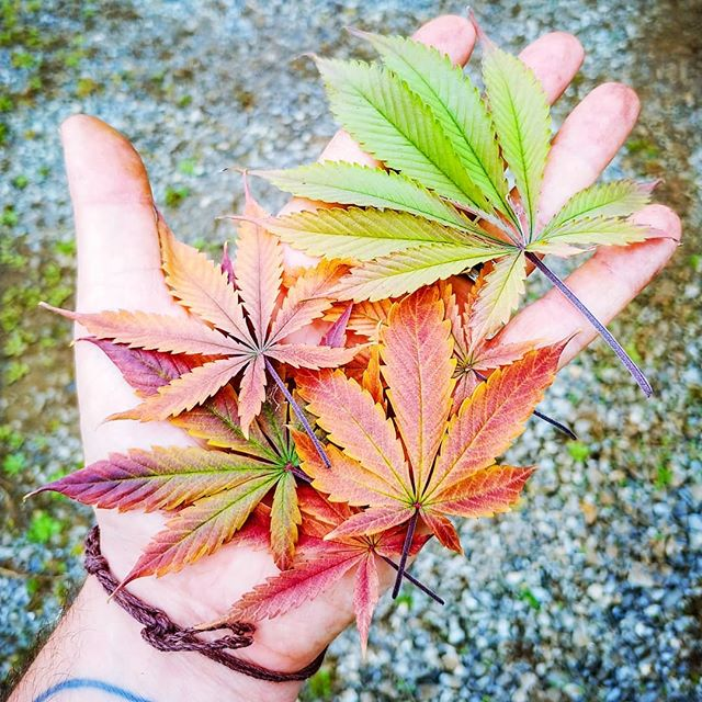 Fall 🍁 is my favorite season. The crips air 🍃 in the mornings, the color of the leaves 🍂 and the general funk 👻 of our babies has me in good spirits for what is expected to be a cold wet winter. Blah! Until then let's all  just enjoy the sun 🌞 and the smells 👃. . . . #tnhemp #Tennessee #easttennessee #hemp #industrialhemp #hempflower #hemplife #cannabiscommunity #cannabis #420 #710 #420girls #2019 #fall #fallcolors