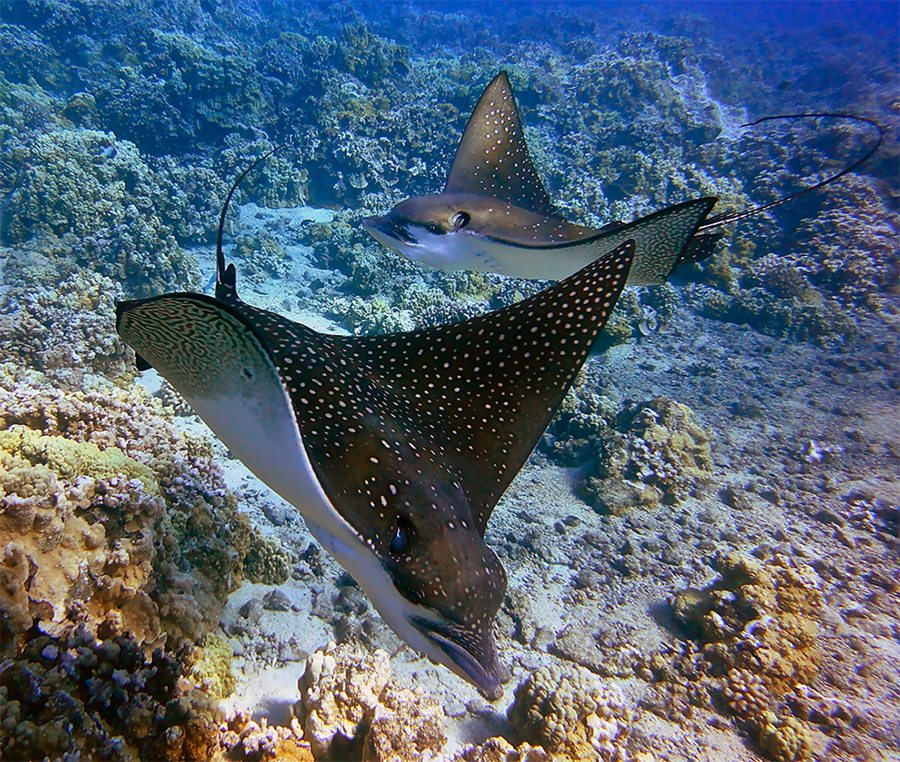 spotted-eagle-ray[1].jpg