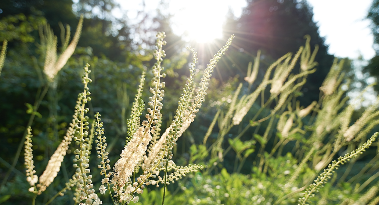 Black Cohosh in our biodynamic medicinal plant gardens