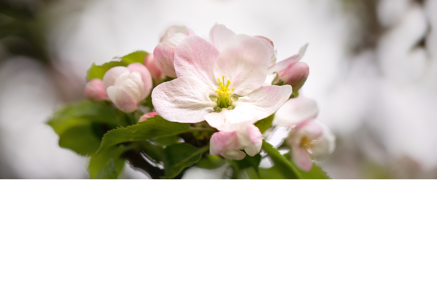 SS-banner-apple-blossom-no-text.png