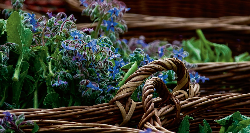 Borage hand harvested in our biodynamic medicinal plant gardens