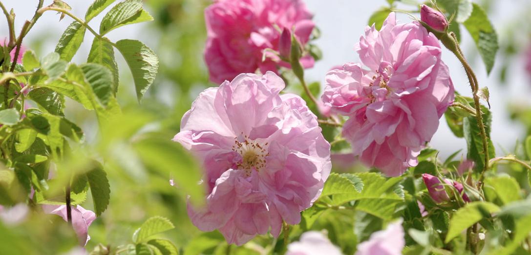 Damask Rose  (rosa damascena)