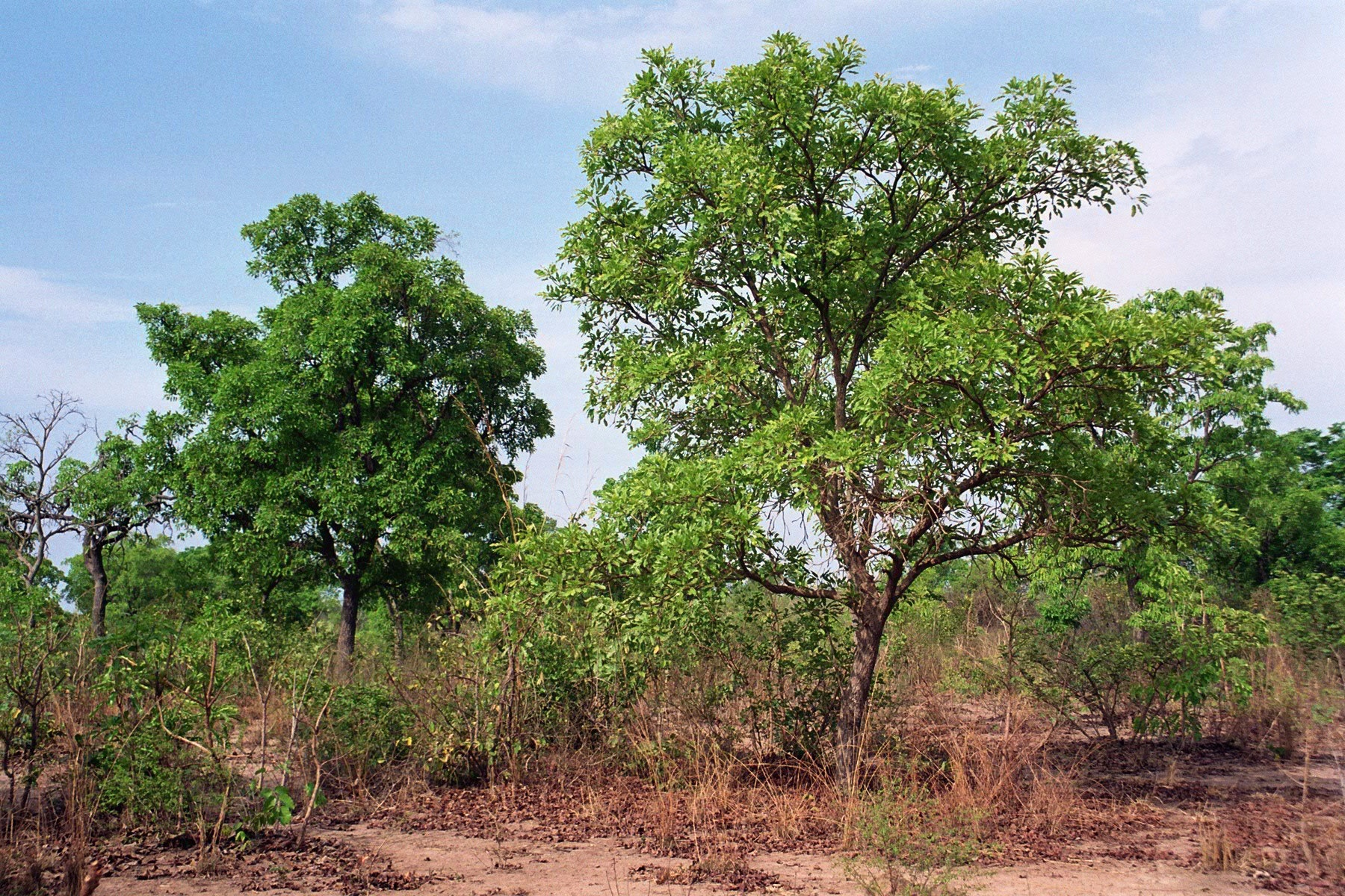 Shea butter is obtained from the nuts of the karite tree  (Butyrospermum parkii),  which is a native of Africa.