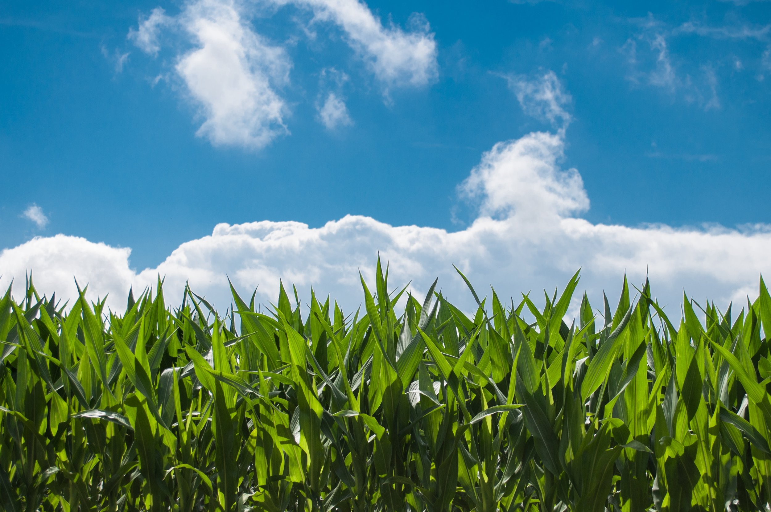 clouds-corn-cornfield-2678.jpg
