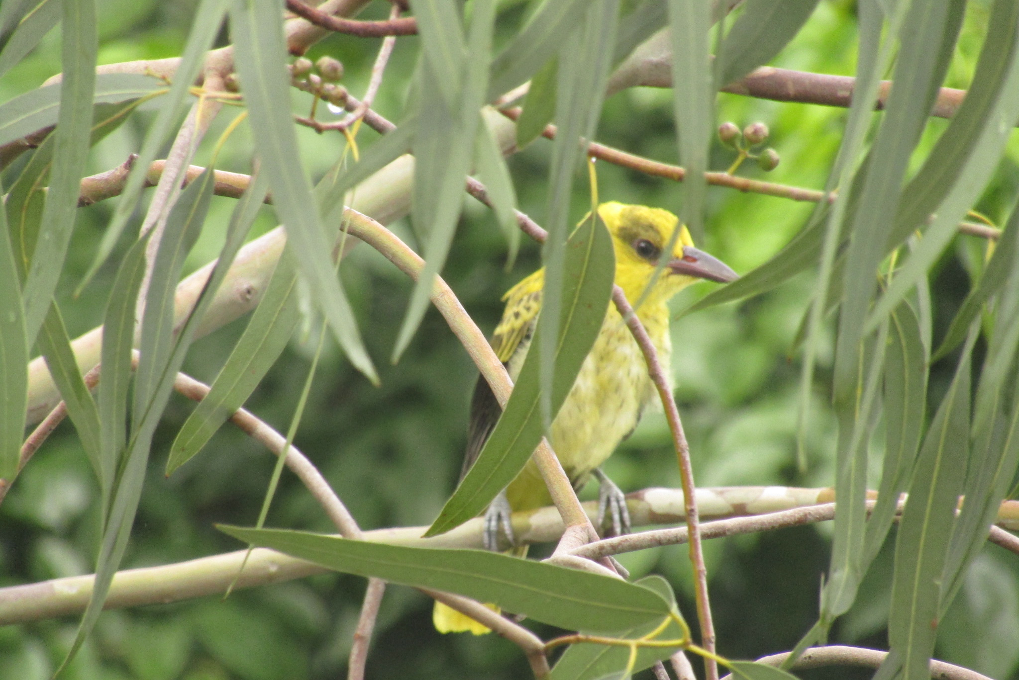 Black-naped Oriole - A juvenile black-naped oriole sounds like a lost kitten. I watched this one every morning for the better part of a week.