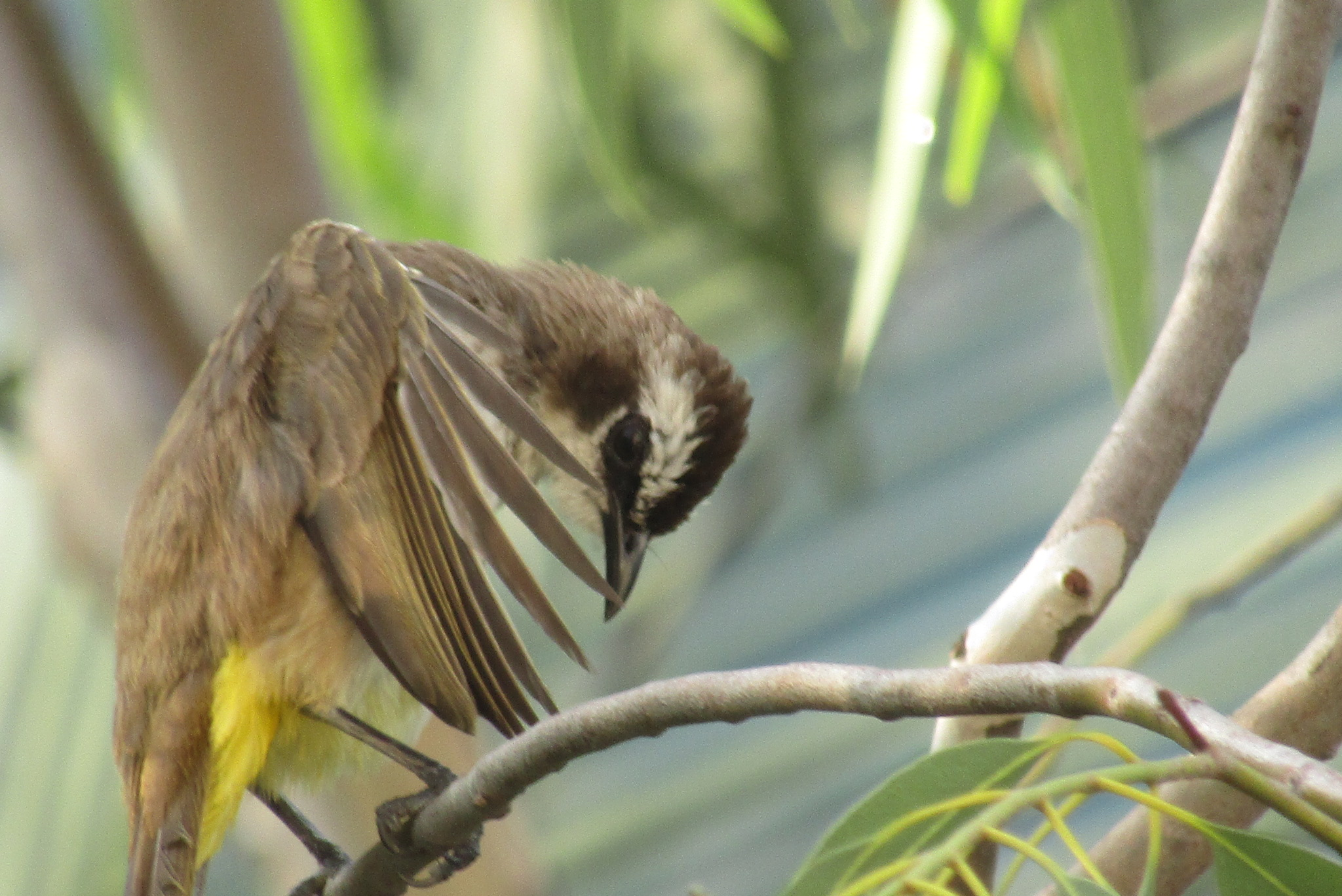 Yellow-vented Bulbul - Bulbul is Persian for nightingale. The YVB though is not the most melodic of birds.