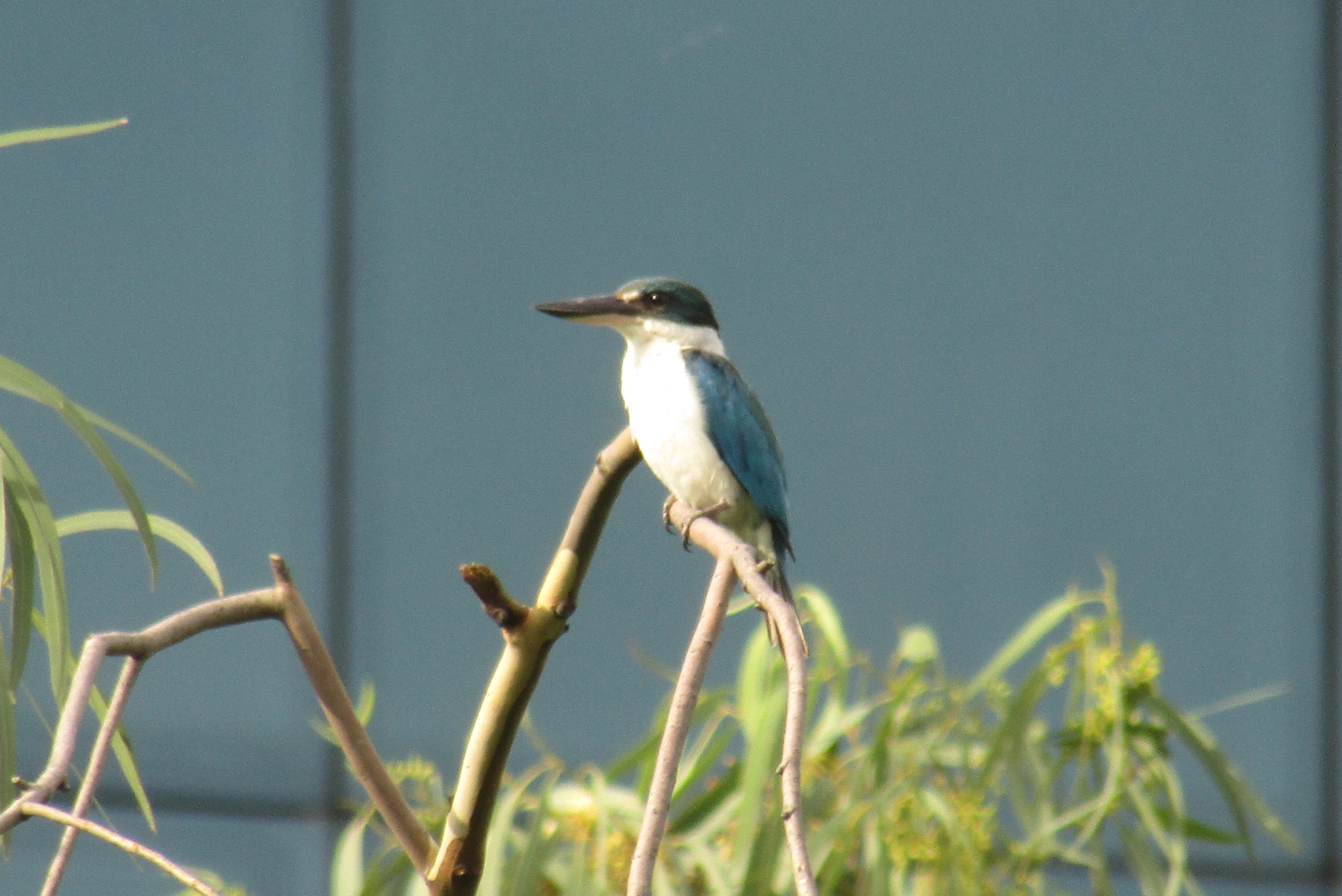 White-collared Kingfisher - A folk belief says that hearing the Kingfisher's call bodes ill - not for the one who hears it directly, but in a complicated, roundabout way, for people that they know but aren't very close to.