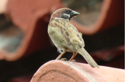 Eurasian Tree Sparrow - The  Maya  (or  Mayang Bahay ) is perhaps our most recognizable bird. It is, however, not an endemic species, and is thought to have been brought over from Europe  https://www.rappler.com/move-ph/106946-tilapia-guppies-maya-ph