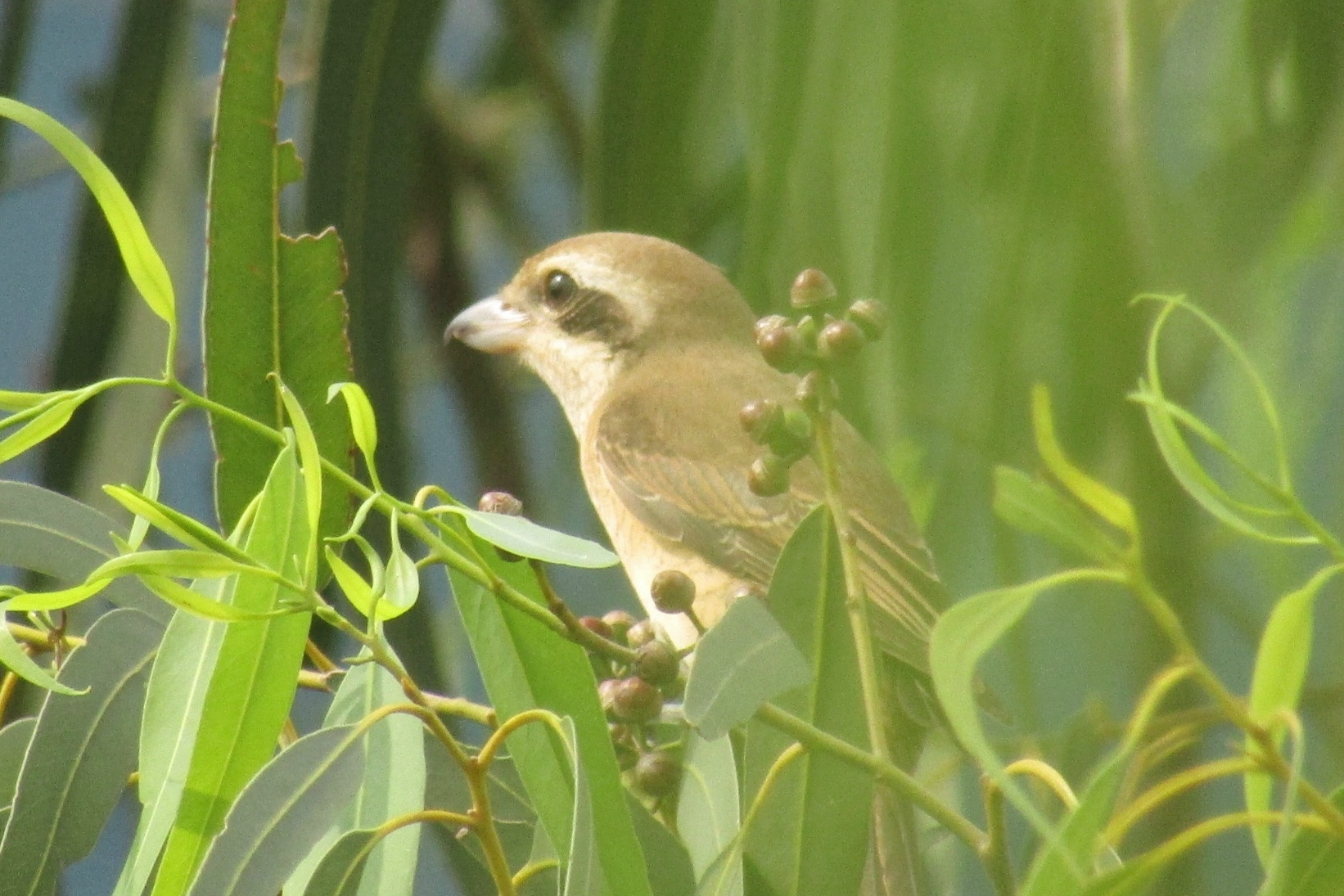 Brown Shrike - The Brown Shrike or  Tarat  is a migrant from the colder climes of Siberia and Northern China. Seeing them usually heralds the other migratory species that are on their way.