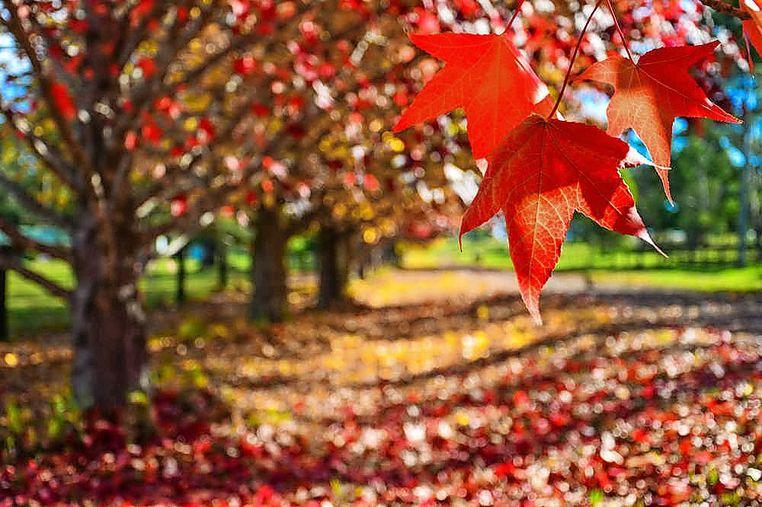 """Autumn's A Fine Season In Macedon""  Macedon Star Weekly - May 22, 2018"