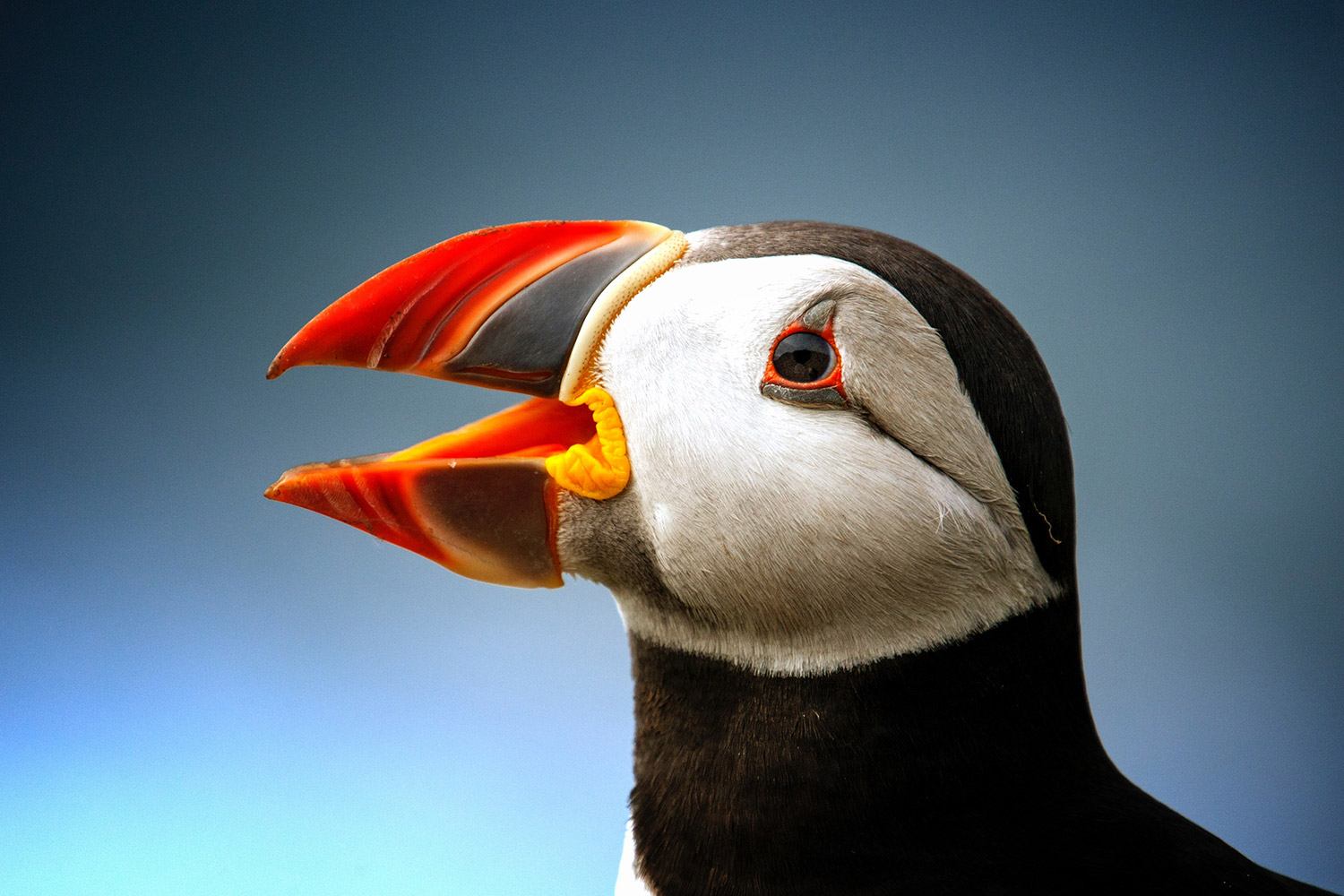 Skomer puffin photographers are crushing birds to death  The Telegraph - July 31, 2018