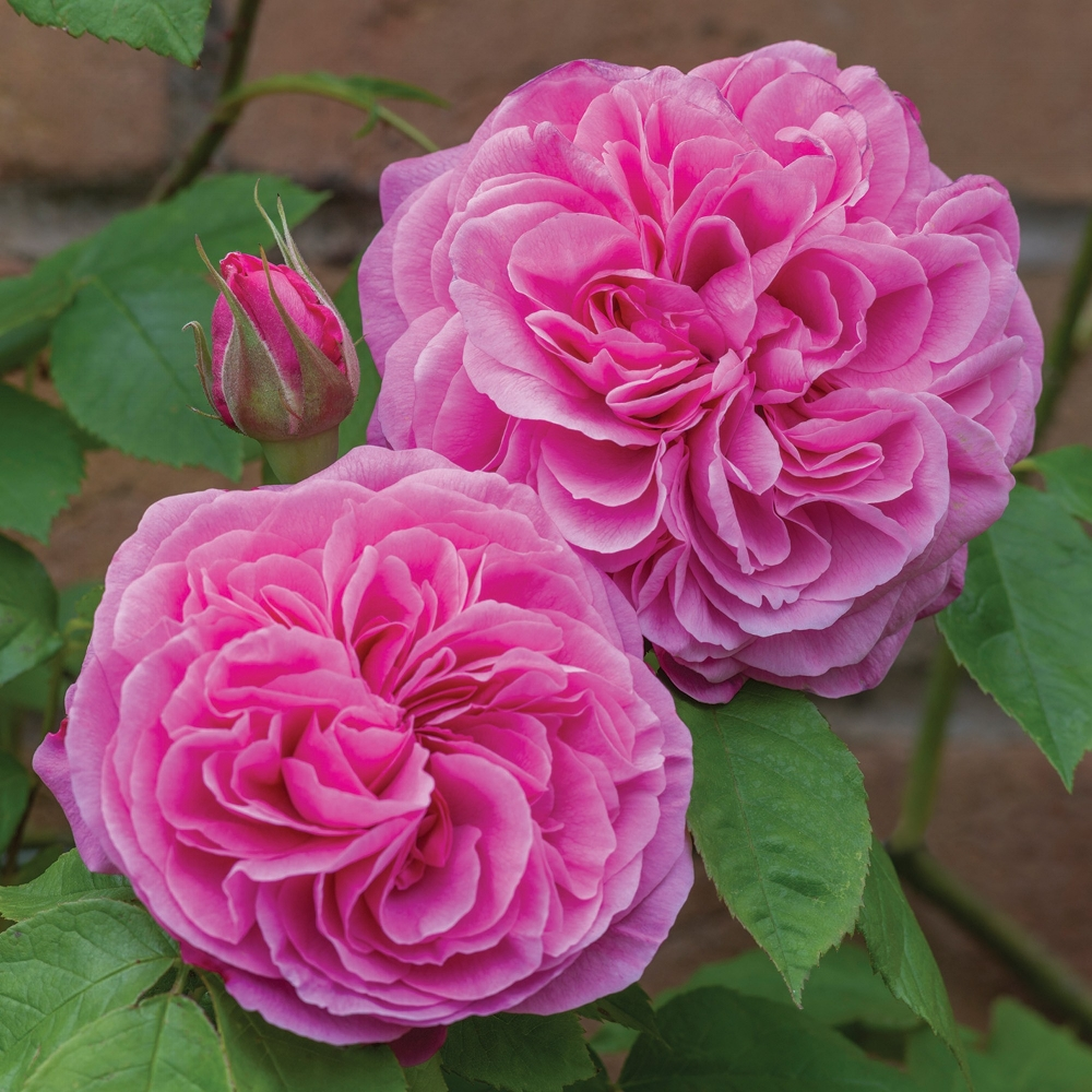 Gertrude Jekyll rose by David Austin.jpg