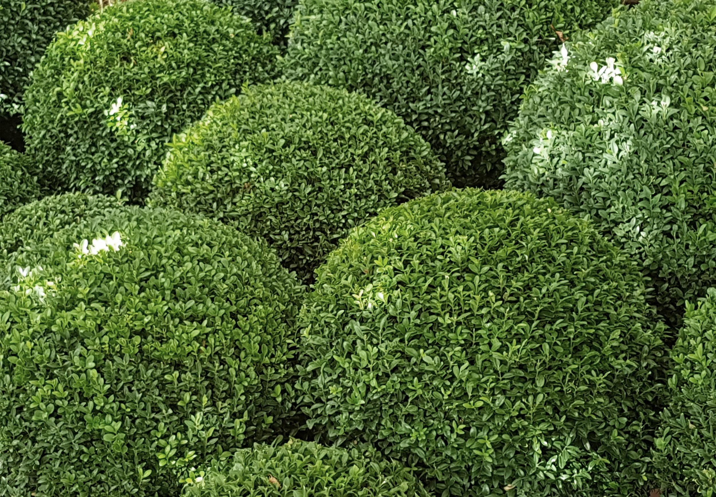 Box topiary.jpg