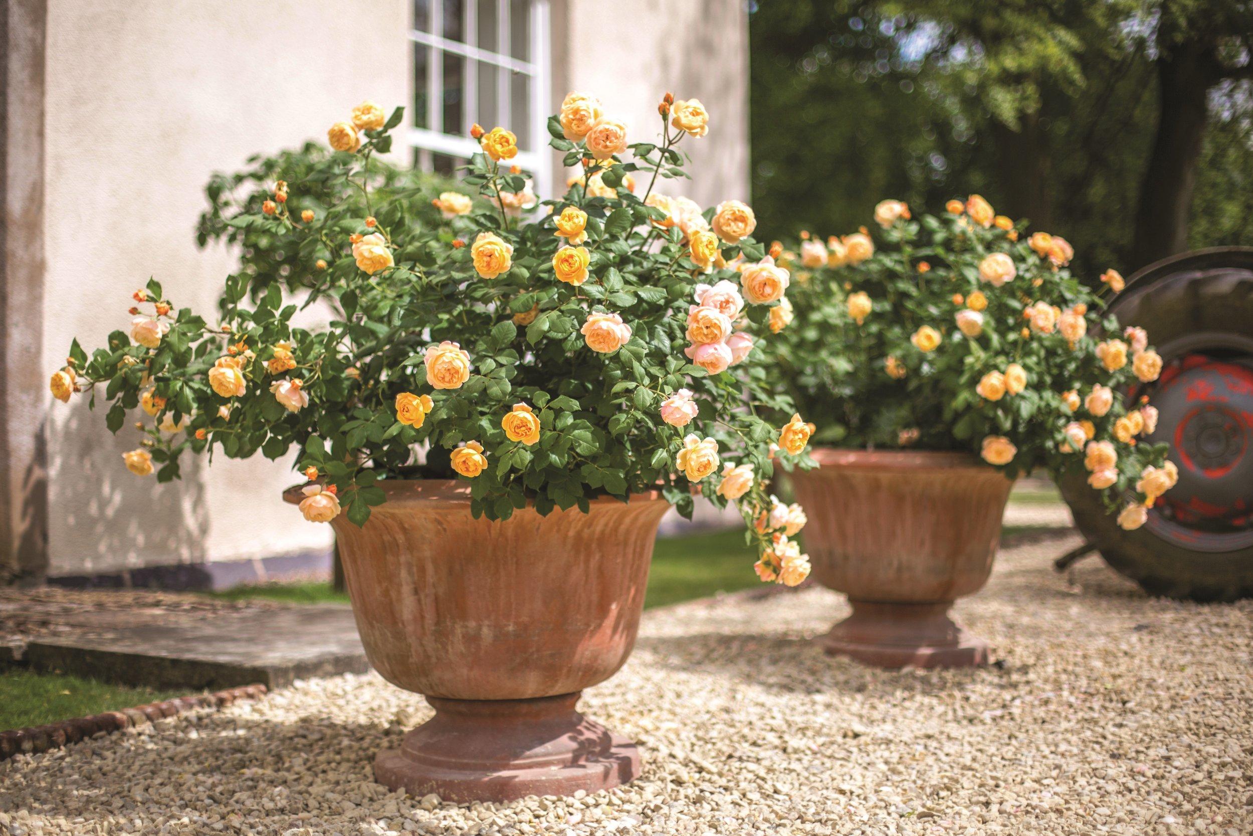 David Austin Roses - Image resize.jpg