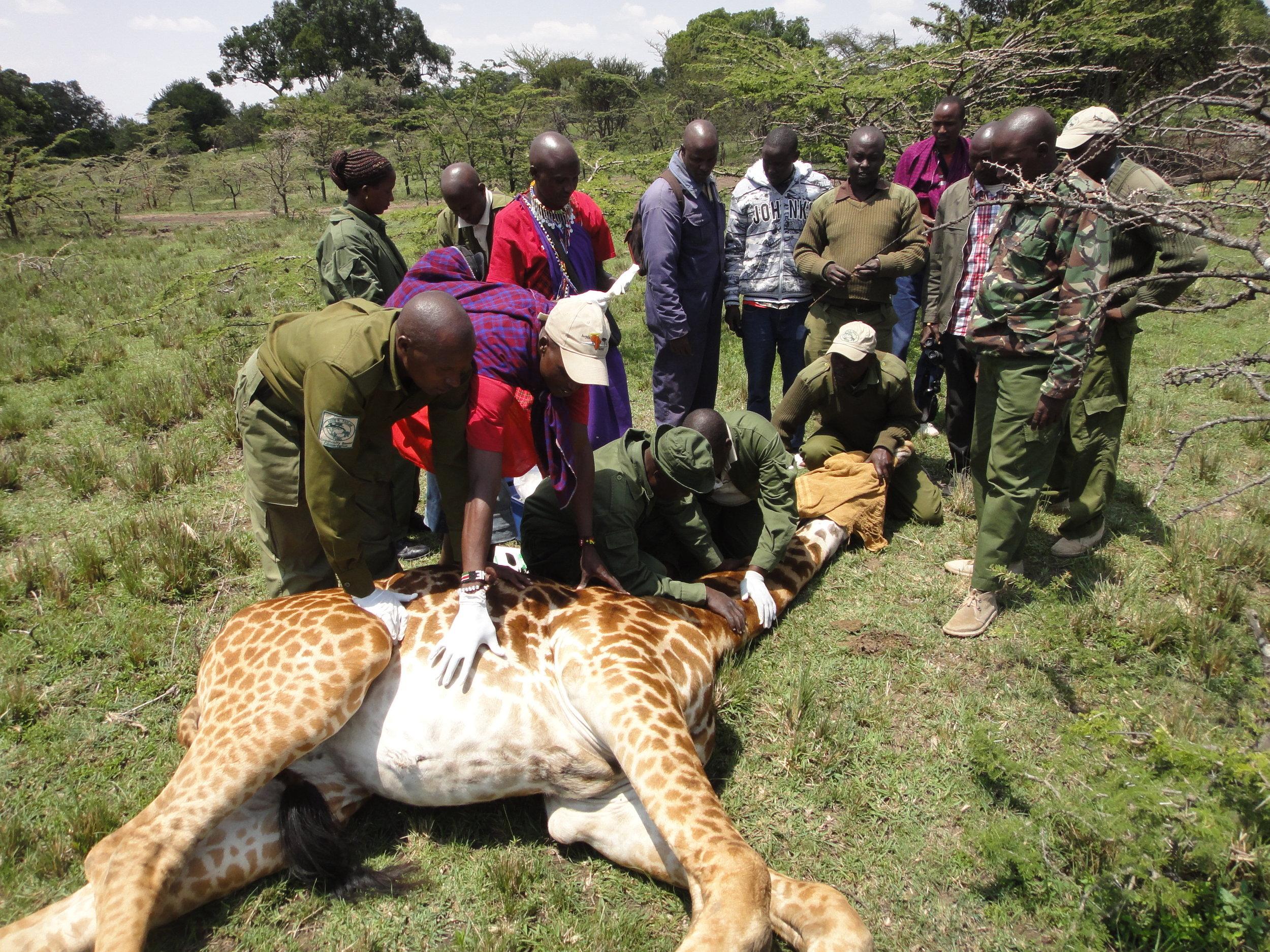 giraffe rescue.JPG