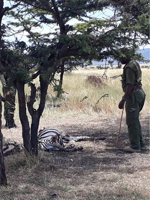 This zebra did not survive the poacher's snare