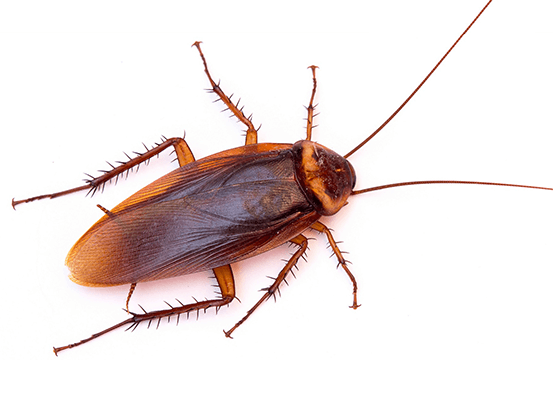 Addison Pest Control is the Cockroach specialist. We have never failed to eliminate an infestation.