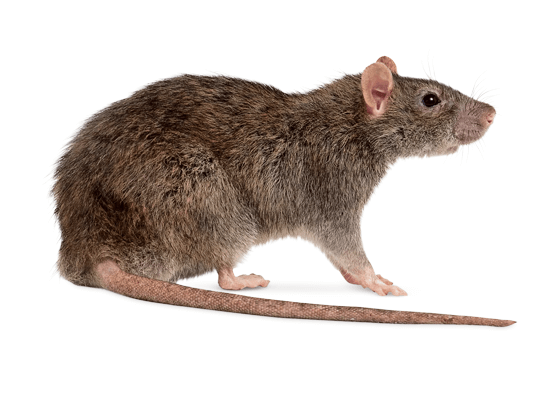 Addison Pest Control is the Rodent specialist. We have never failed to eliminate an infestation.