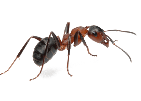 Addison Pest Control is the Ant specialist. We have never failed to eliminate an infestation.