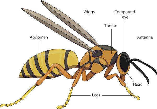 Wasp anatomy