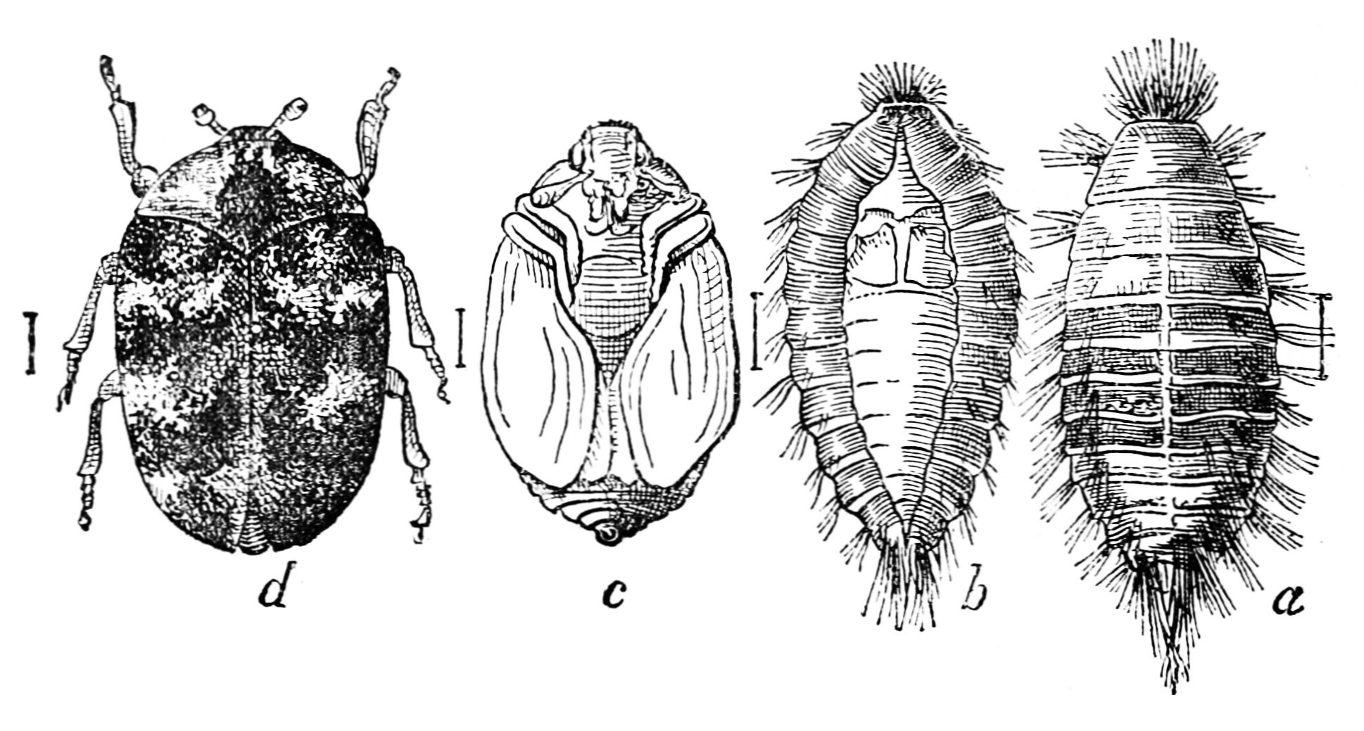 how to tell bed bugs apart from carpet beetles