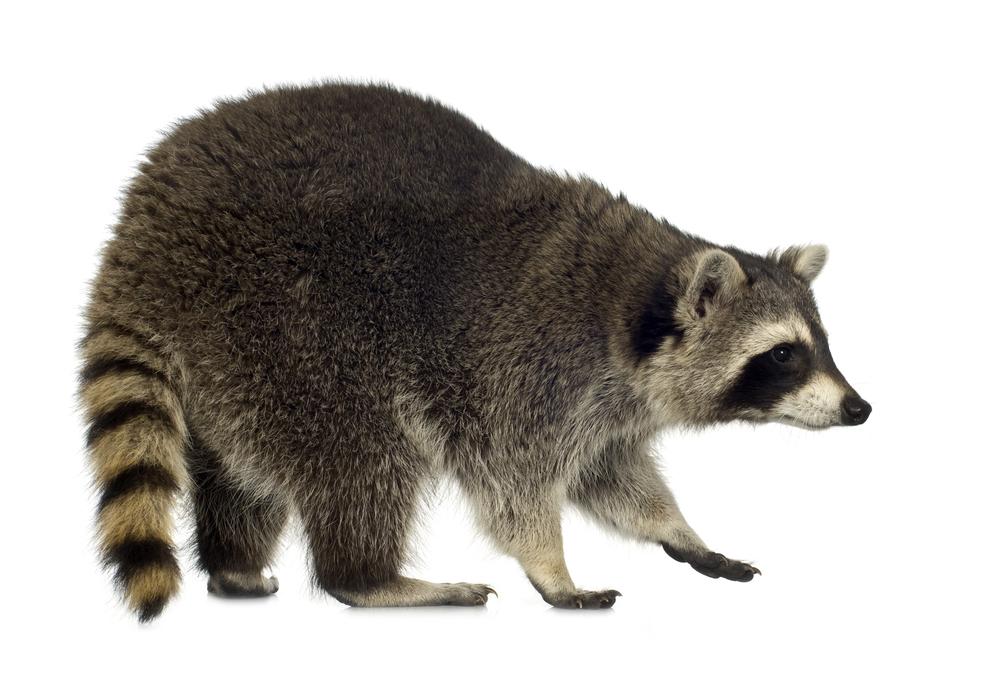 How do I identify a raccoon?