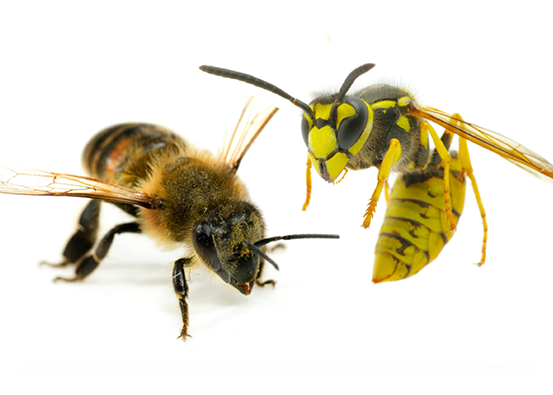 Bee, Wasp and Hornet Extermination