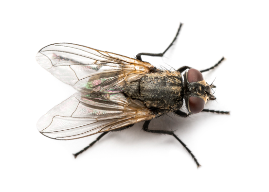 House Fly Extermination