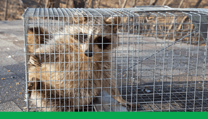 racoon_trap.png