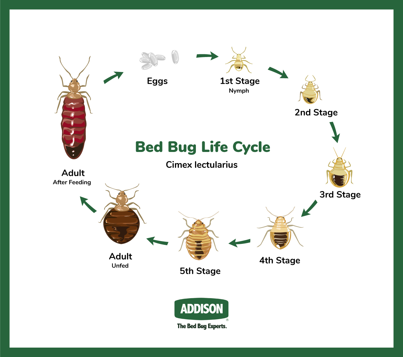 Identifying Bed Bugs at different stages in their life cycle.
