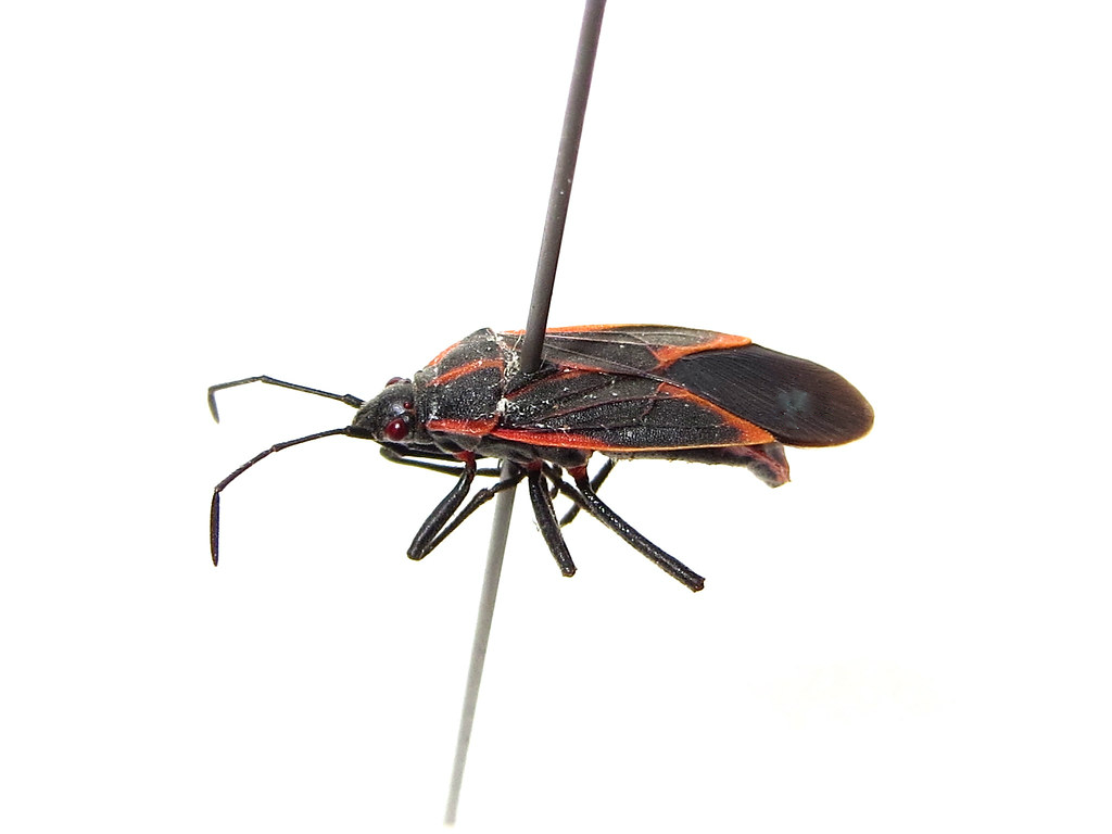 Addison Pest Control is the boxelder bug specialist. We have never failed to eliminate a boxelder bug infestation.