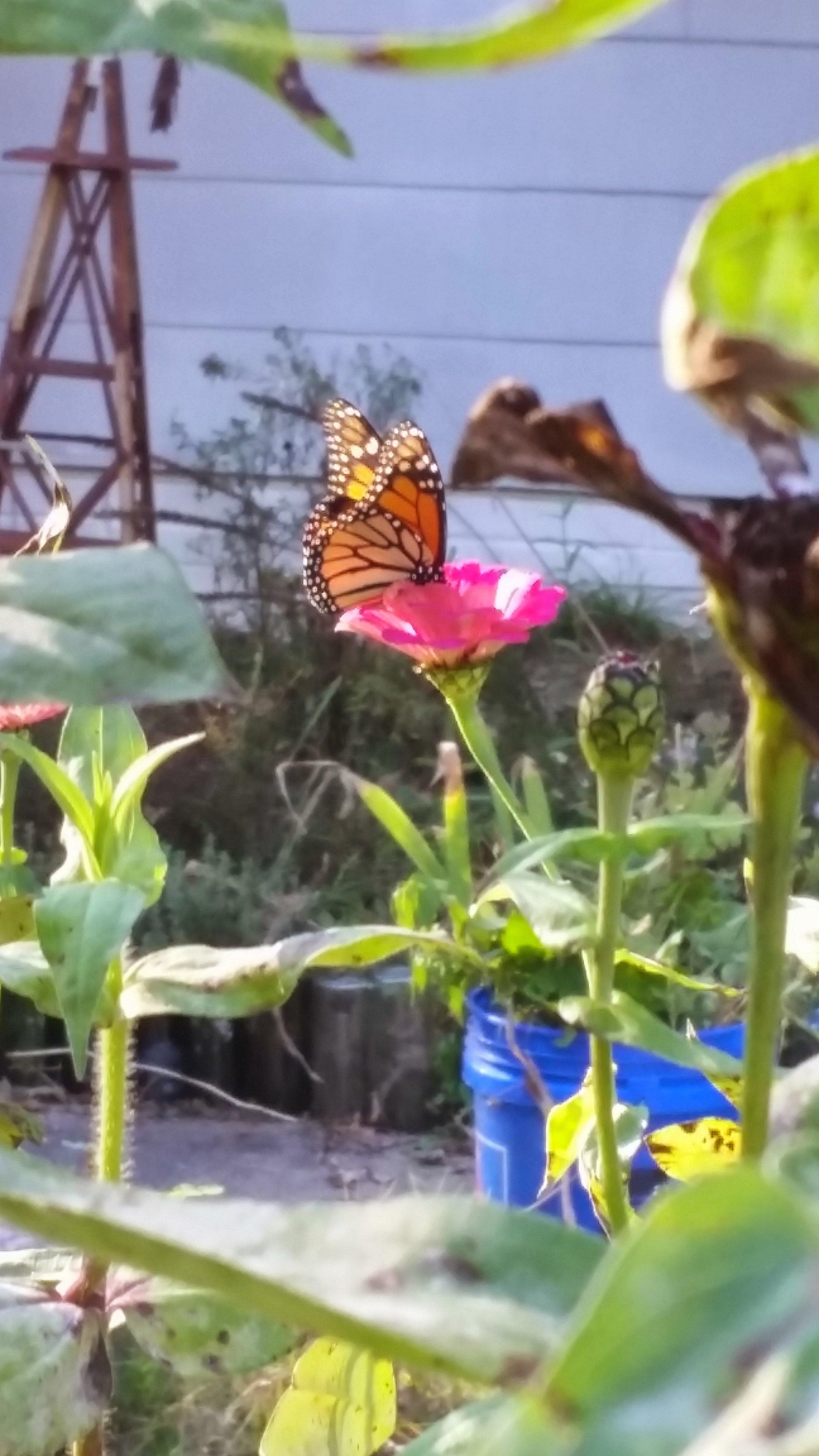 Monarch on Zinnia Durham NC