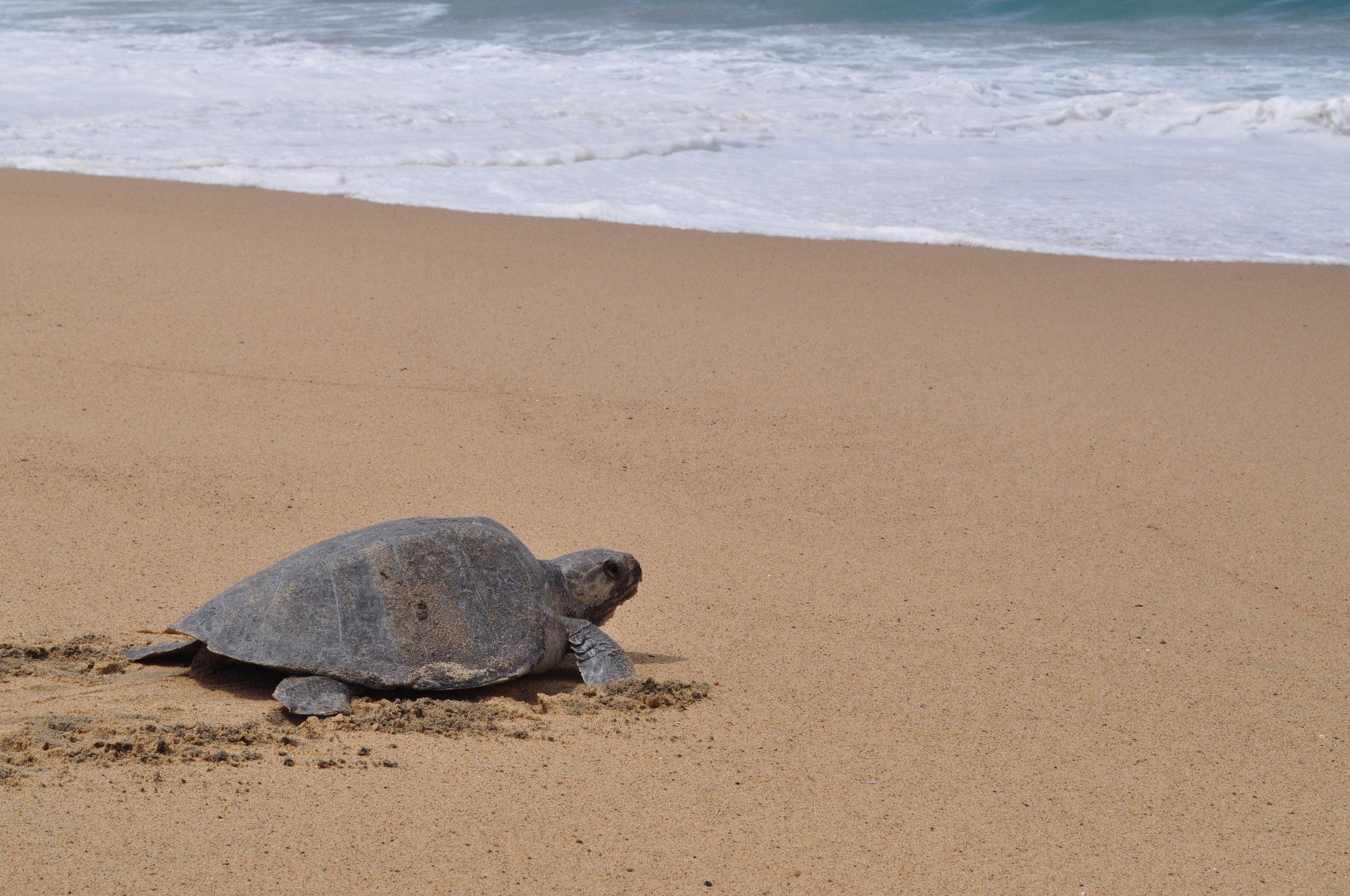 Olive ridley turtle at Ixtapilla