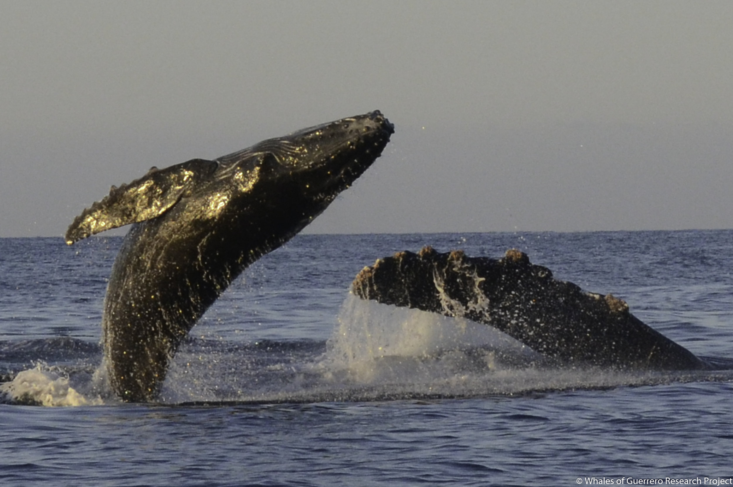 Whales of Guerrero Mexico
