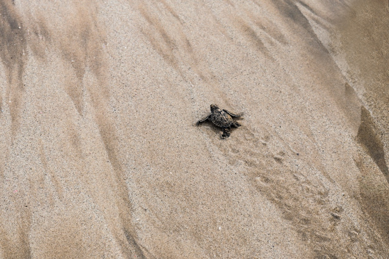 baby turtle and tracks.jpg