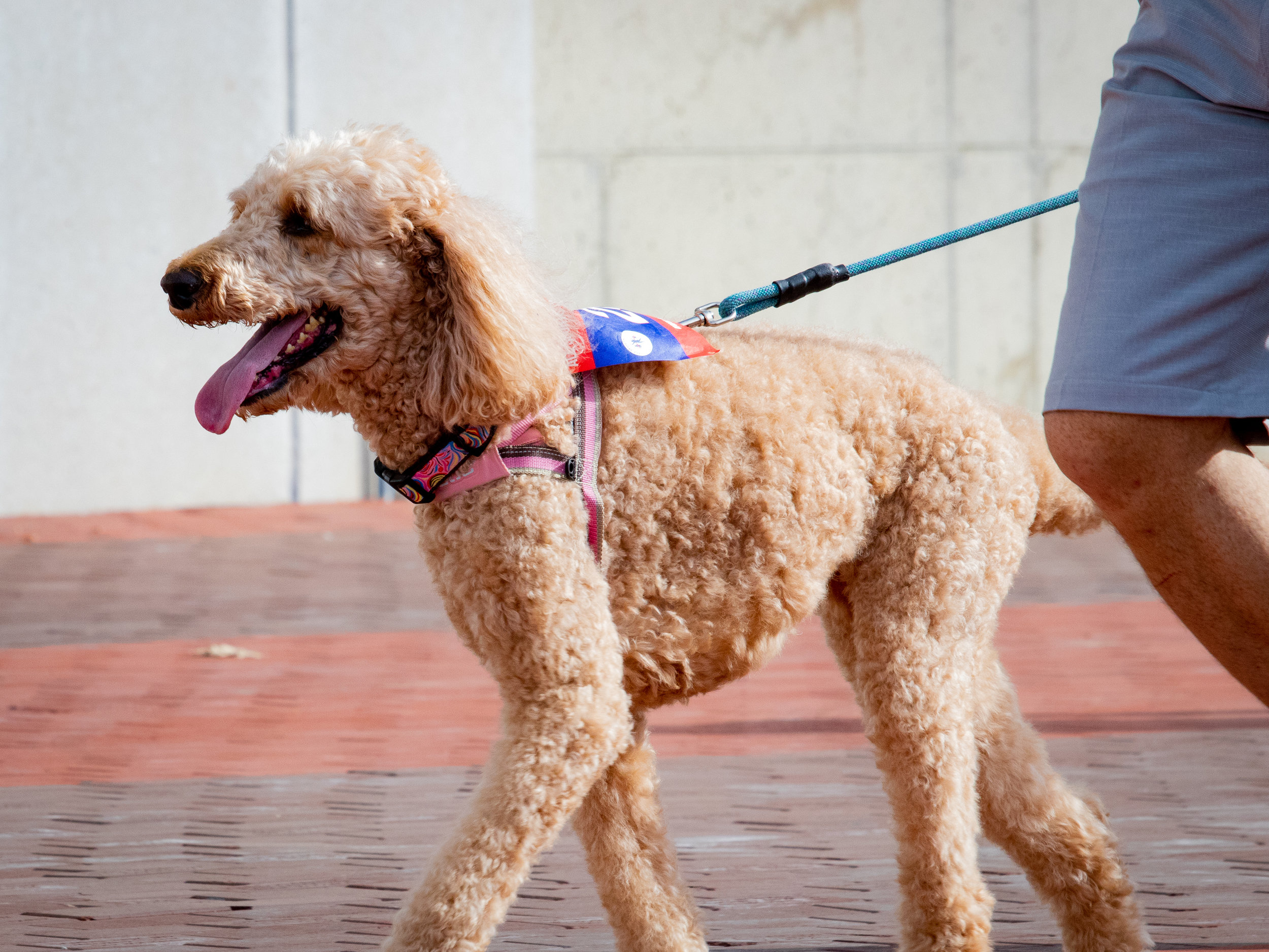Lizzy the poodle participates in the 5K Fun Run at the Ohio State University.